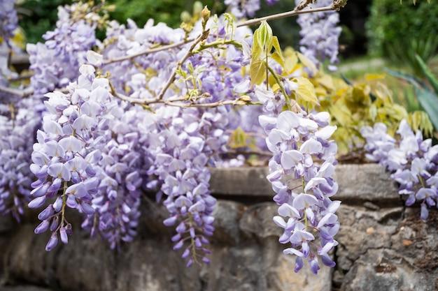 春に紫の藤の花