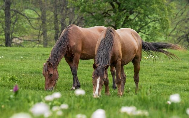 太陽に照らされた牧草地で野生の馬が放牧されています。
