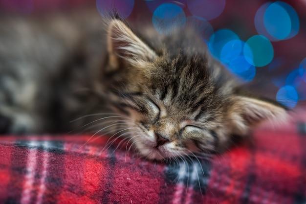 色とりどりのクリスマスライトの赤い格子縞で寝ている暗い縞模様のかわいいふわふわ灰色の子猫