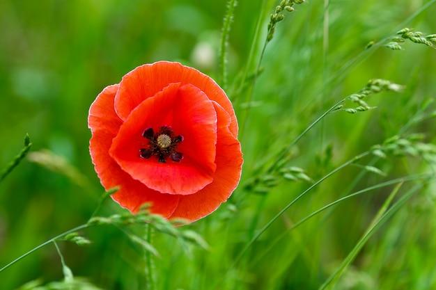 草の上の美しい赤いケシ