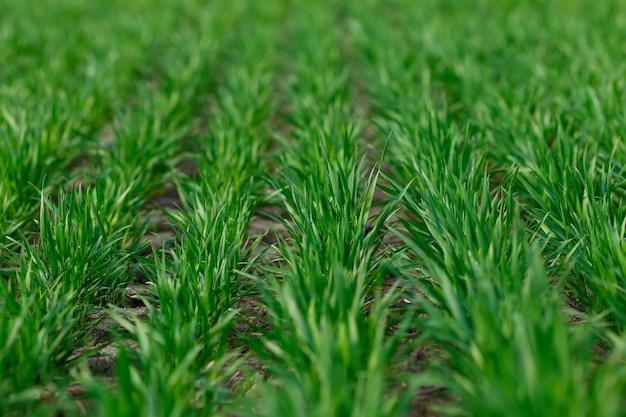 フィールドのきちんとした列で成長している若い小麦