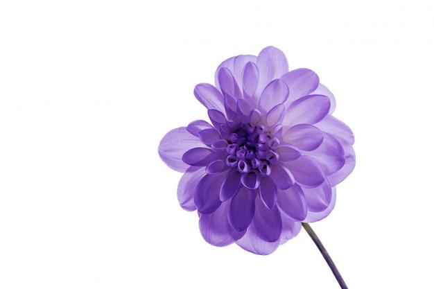Цветок нежное растение розовый фиолетовый протон свежая хризантема макро открытка изолированный фон золотисто-ромашка букет много роз