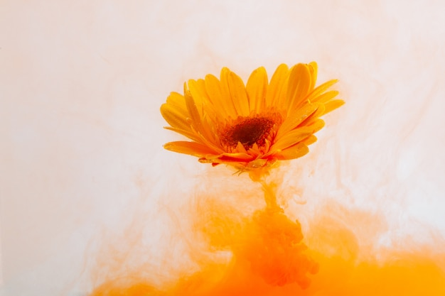 水の白い背景の中に黄色のアストラ菊赤