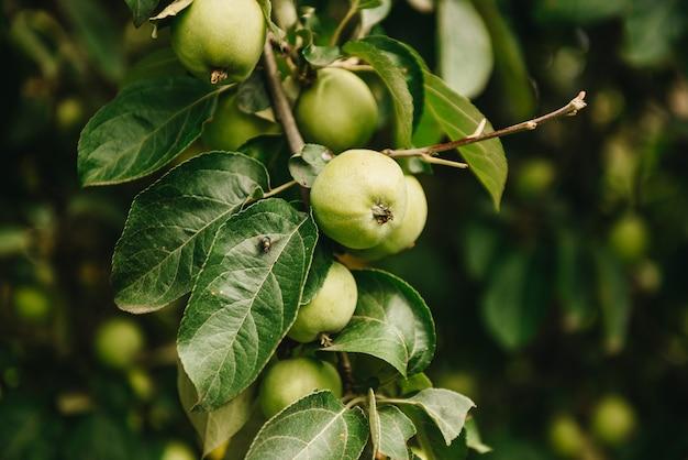 Зеленые яблоки на ветке готовы быть собраны, на открытом воздухе, селективный фокус