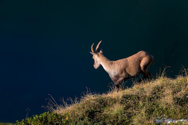Козерог на лугу над альпийским прудом
