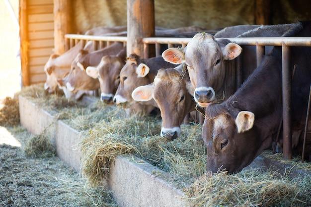 農場で牛を飼育馬小屋で干し草を食べるアルパインブラウン