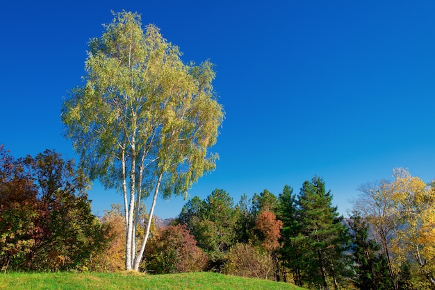 イタリアアルプスの風景の中の秋の白樺
