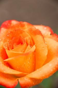 Макро розы и место для текста. день матери цветы и копией пространства.