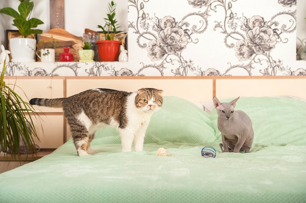 家の中で二匹の猫が口論し、平和を作ります。