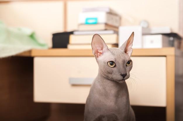 自宅のスフィンクス猫。家の灰色のスフィンクス猫のクローズアップの肖像画。