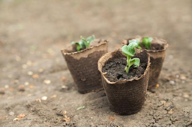 泥炭ポットの苗。地球のクローズアップとコピースペースの背景に若い植物のプロセス。