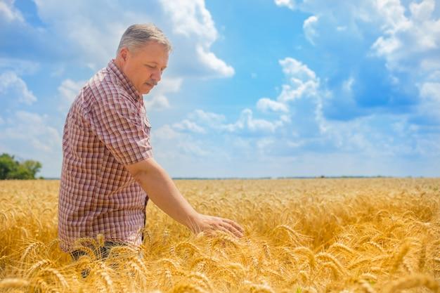 男の農夫が小麦畑に立ち、収穫を検査します。
