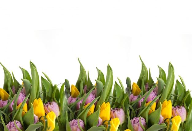 白い背景の上の黄色のチューリップ。花のフレーム。