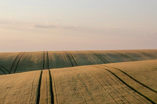Пшеничное поле на рассвете.
