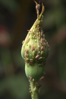 バラの茎のアブラムシ、クローズアップ、セレクティブフォーカス。