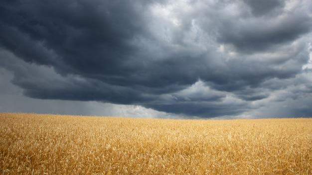 Угроза зерновых культур. тяжелые тучи над полем пшеницы.
