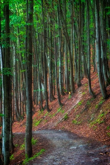ウクライナのカルパチア山脈の山の斜面にある夏のブナ林