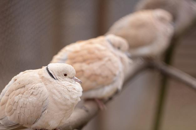 Голуби техасского мяса разводят сидя на шесте в клетке.
