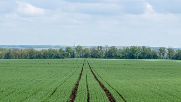 Молодые саженцы пшеницы растя в поле. облачное небо