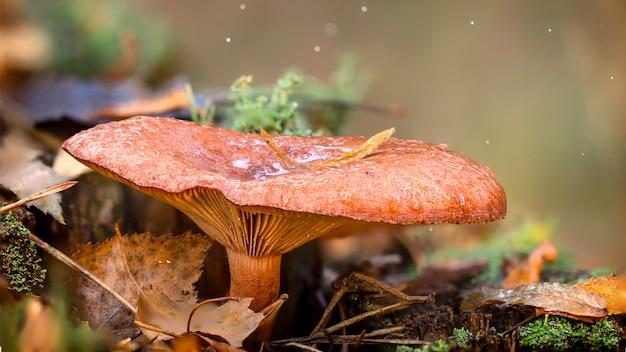 Гриб лисичка в лесу, ценный съедобный гриб