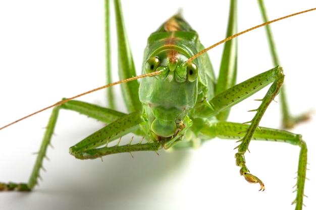 Большой зеленый кузнечик на белом