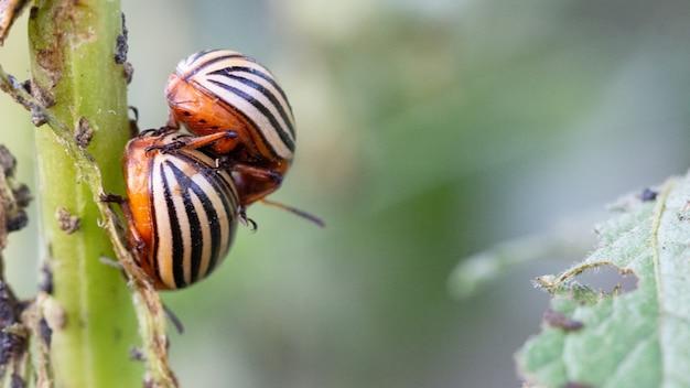 Колорадский жук питается зеленью на листьях картофеля