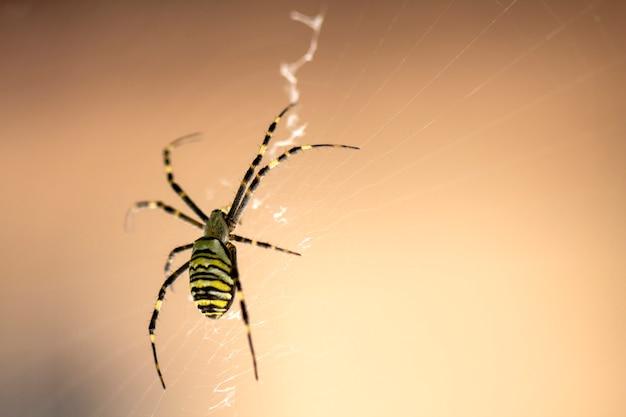 Редкий садовый паук сидит на паутине, большой план