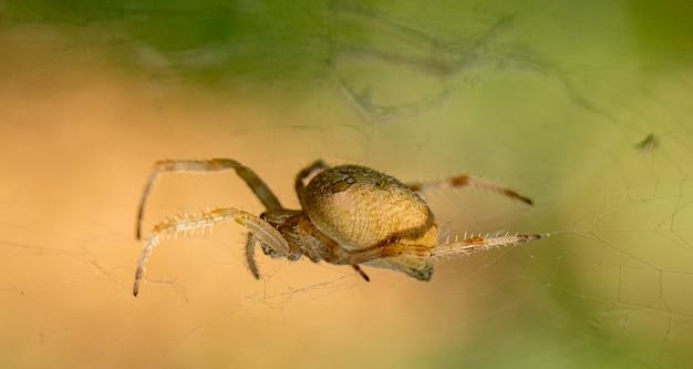 Редкий садовый паук сидит на паутине, большой план на зеленом