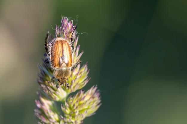 Японский жук на травянистой траве. сельскохозяйственный вредитель.