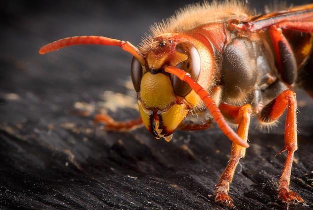 Огромный европейский шершень. опасное хищное насекомое. крупный план.