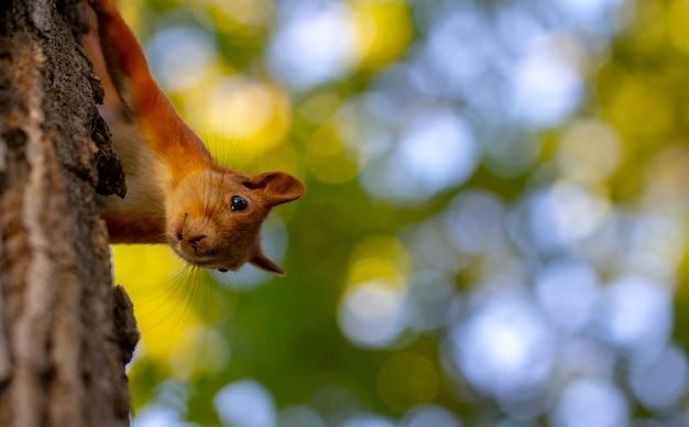 美しいボケ味を持つ木に赤リス。シャープネスの深さが低い。