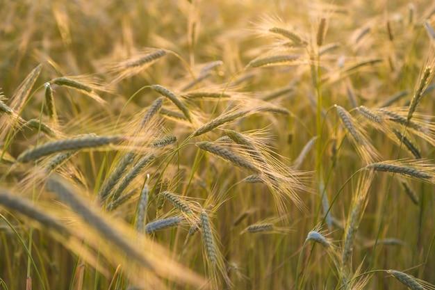 太陽に照らされた小麦の収穫