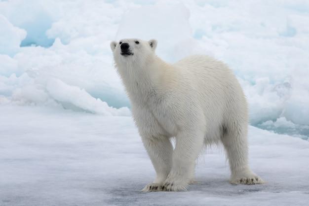 北極海の氷の上の野生のホッキョクグマ