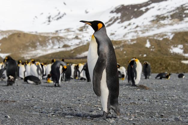 Королевские пингвины на острове южная джорджия