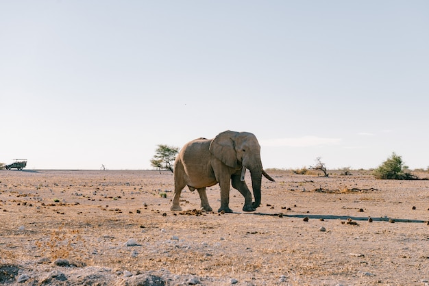 Дикий слон гуляет в африканской саванне