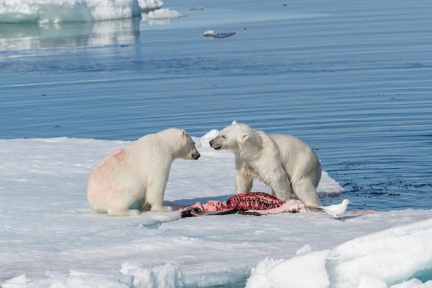 Два диких белых медведя, поедающие убитого тюленя на паковом льду к северу от острова шпицберген, свальбард