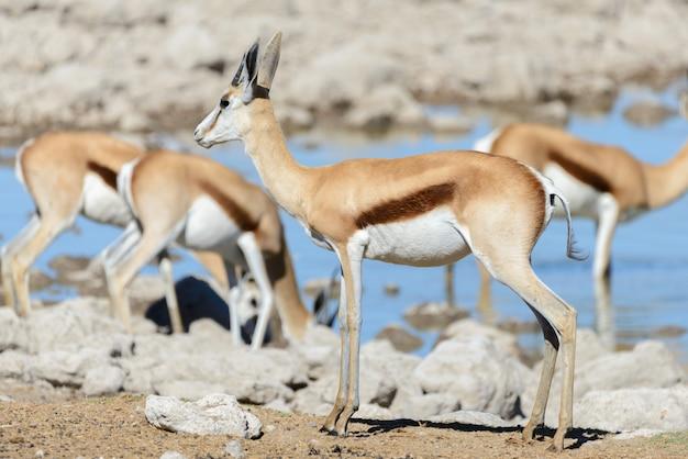 Дикие африканские животные - гну, куду, орикс, спрингбок, зебры, питьевая вода в водопоя