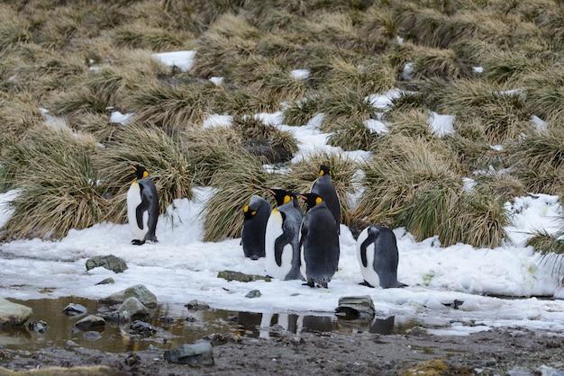 南極のキングペンギン