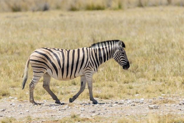 アフリカのサバンナを歩く野生のシマウマをクローズアップ