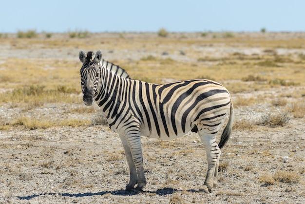 アフリカのサバンナを歩く野生のシマウマ