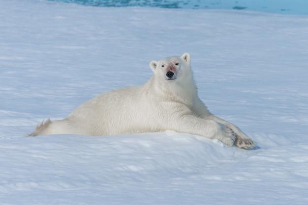 Дикий белый медведь лежит на паковом льду к северу от острова шпицберген, шпицберген