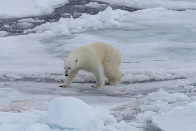 北極海の氷パックの野生のホッキョクグマ