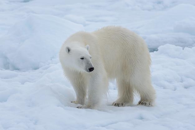 北極海のパックアイスの野生のシロクマをクローズアップ