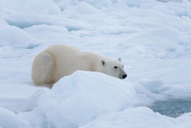 野生のシロクマが氷の上に敷設