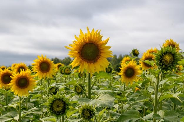 Подсолнечник поле пейзаж естественный фон