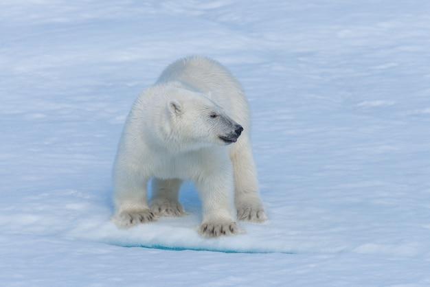 Дикий полярный медвежонок на паковом льду в арктическом море крупным планом