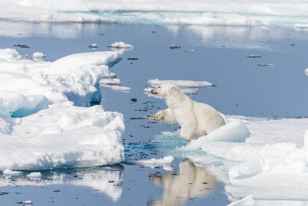 Дикий белый медведь прыгает через льдины к северу от шпицбергена