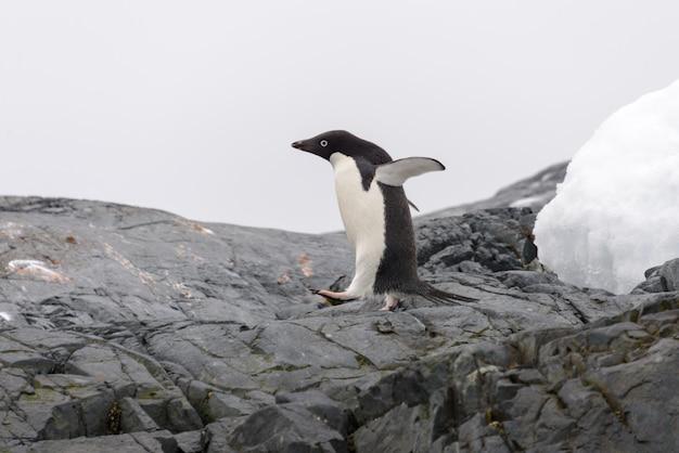 ビーチでアデリーペンギン