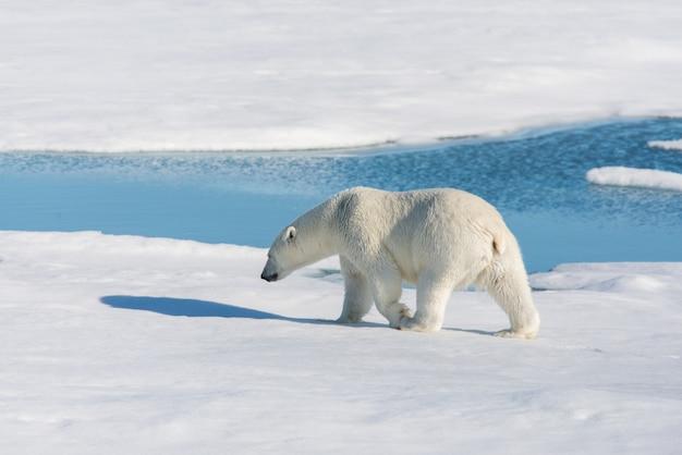 Белый медведь на паковом льду