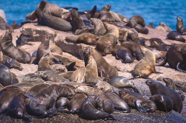 南アフリカ、ケープタウンのハウト湾アザラシ島のアザラシ